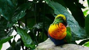 Rainbow lorikeet stock footage