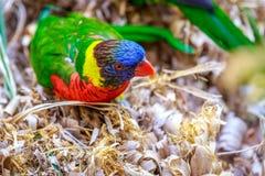 Rainbow Lorikeet Royalty Free Stock Images