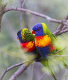 Rainbow Lorikeet Couple Royalty Free Stock Image