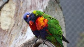 Rainbow Lorikeet Couple. Bird Lorikeet Couple perched on the tree Branch stock video footage