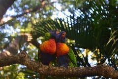 Rainbow Lorikeet couple on Magnetic Island. Rainbow Lorikeets mate for life Stock Photo