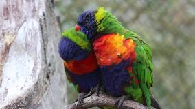 Rainbow Lorikeet Couple. Couple of Rainbow Lorikeet Parrot on Branch stock video