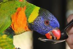 Rainbow lorikeet Royalty Free Stock Image
