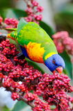 Rainbow lorikeet eating berries Stock Photos