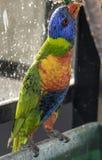 Rainbow Lorikeet eating Royalty Free Stock Photo