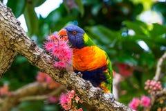 Rainbow Lorikeet Eating Nectar stock photography