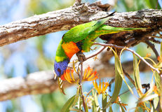 Rainbow Lorikeet Eating, Queensland, Australia Royalty Free Stock Photography
