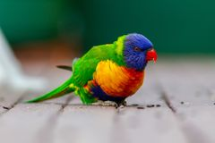 A rainbow lorikeet eating seed with a green background in lithgow new south wales australia on 12th June 2018 stock photography