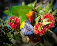 Rainbow lorikeet feasting on a bottle brush flower stock images