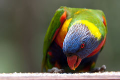 Rainbow Lorikeet feeding. In the nature. Horisontal version royalty free stock photo