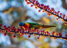 Rainbow Lorikeet feeding on red berries Stock Photos