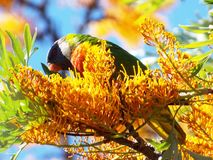 Rainbow lorikeet. Feeding in the trees Stock Image
