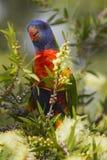 Rainbow Lorikeet. A Rainbow Lorikeet feeding in a white flowering Callistenom Royalty Free Stock Image