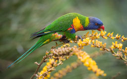 Rainbow Lorikeet in Flowers Royalty Free Stock Photo