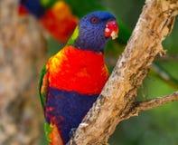 Rainbow lorikeet with food in its beak. A rainbow lorikeet with food covering its beak and another rainbow lorikeet perched behind Stock Photo