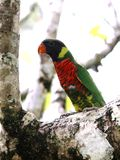 Rainbow Lorikeet in a frangipani tree Stock Photos