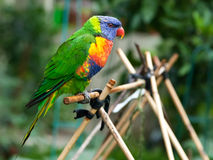 Rainbow Lorikeet in the Garden Stock Photography