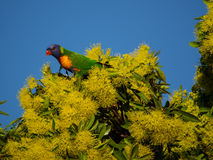 Rainbow Lorikeet in Golden Penda. Rainbow Lorikeet feeding on Golden Penda after an early Morning shower Stock Photo