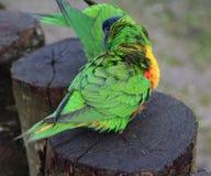 Rainbow lorikeet group Royalty Free Stock Images