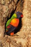 Rainbow Lorikeet (haematodus del Trichoglossus) Immagini Stock