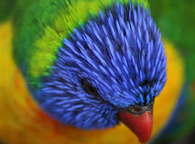 Rainbow lorikeet head stock photography