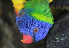 Rainbow lorikeet head Stock Photography