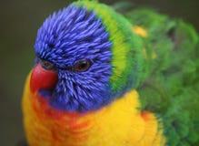 Rainbow lorikeet head Royalty Free Stock Photography