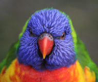 Rainbow lorikeet head royalty free stock photography