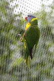Rainbow Lorikeet holding on gauze Royalty Free Stock Photography