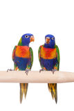 Rainbow Lorikeet isolated on white Royalty Free Stock Photos
