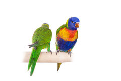 Rainbow Lorikeet isolated on white Royalty Free Stock Photography