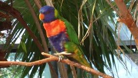 Rainbow lorikeet stock video