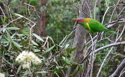 Rainbow Lorikeet. S in Currimbin wildlife sanctuary, GoldCoast Stock Photography