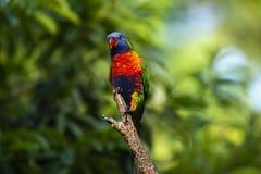 Rainbow lorikeet stock image