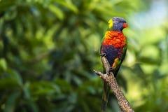 Rainbow lorikeet stock photo