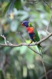 Rainbow lorikeet or lory, Trichoglossus haematodus Stock Images