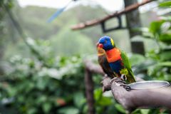 Rainbow Lorikeet. Making silly faces. Bright blue, yellow, green, orange and red feathers royalty free stock photos