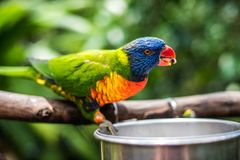Rainbow Lorikeet. Making silly faces. Bright blue, yellow, green, orange and red feathers royalty free stock image