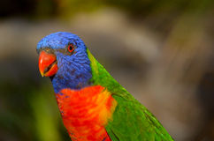 Rainbow Lorikeet Royalty Free Stock Photography
