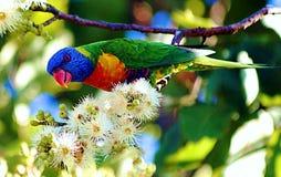 Rainbow Lorikeet in Our Garden Stock Photo