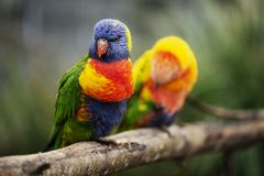 Rainbow lorikeet outside during the day. Stock Images