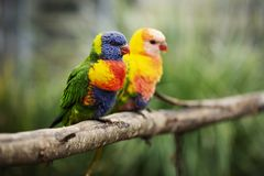 Rainbow lorikeet outside during the day. Royalty Free Stock Photos