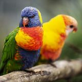 Rainbow lorikeet outside during the day. Royalty Free Stock Image