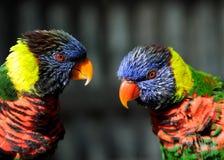 Rainbow Lorikeet Parrot Pair stock photo