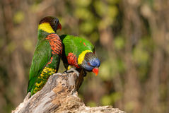 Rainbow Lorikeet Pair on Log. At the Portland Zoo in Portland, Oregon Royalty Free Stock Images