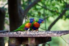 Rainbow Lorikeet pair Royalty Free Stock Photos