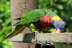 Rainbow lorikeet in the park of Durban, South Africa Stock Photo