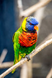 Rainbow Lorikeet parrot Royalty Free Stock Image
