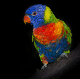 Rainbow lorikeet parrot Royalty Free Stock Image