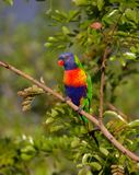 Rainbow Lorikeet, Parrot, Colourful Stock Images